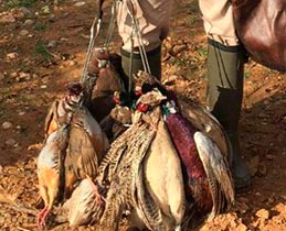 PARTRIDGE SHOOTING IN SPAIN