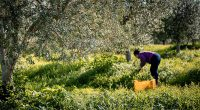 organic_olive_oil_pureandalusia