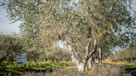 ecological_olive_oil_pureandalusia