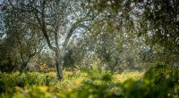 olive_oil_seville_pureandalusia