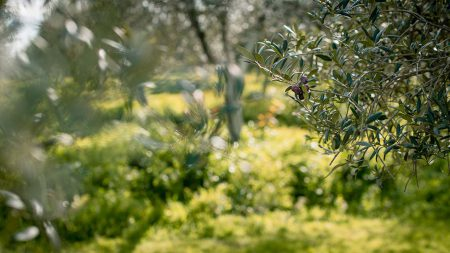 olive_oil_production_pureandalusia