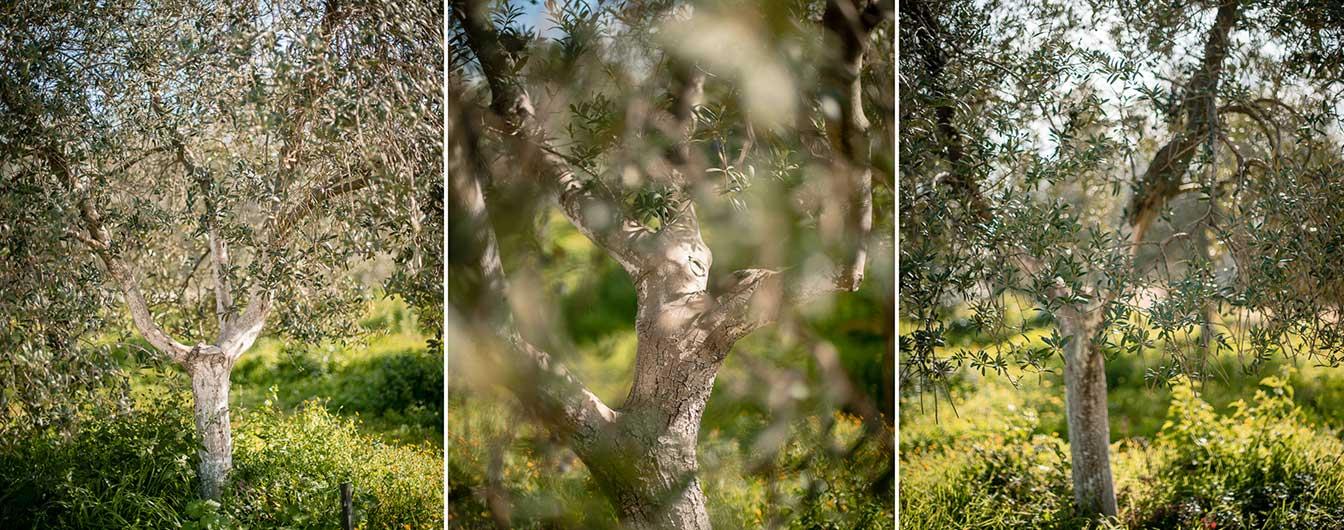 olive_trees_pureandalusia