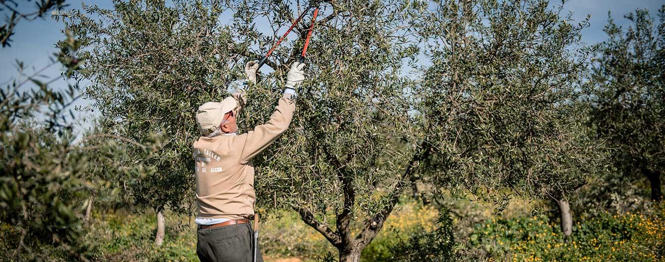 olive_farming_pureandalusia